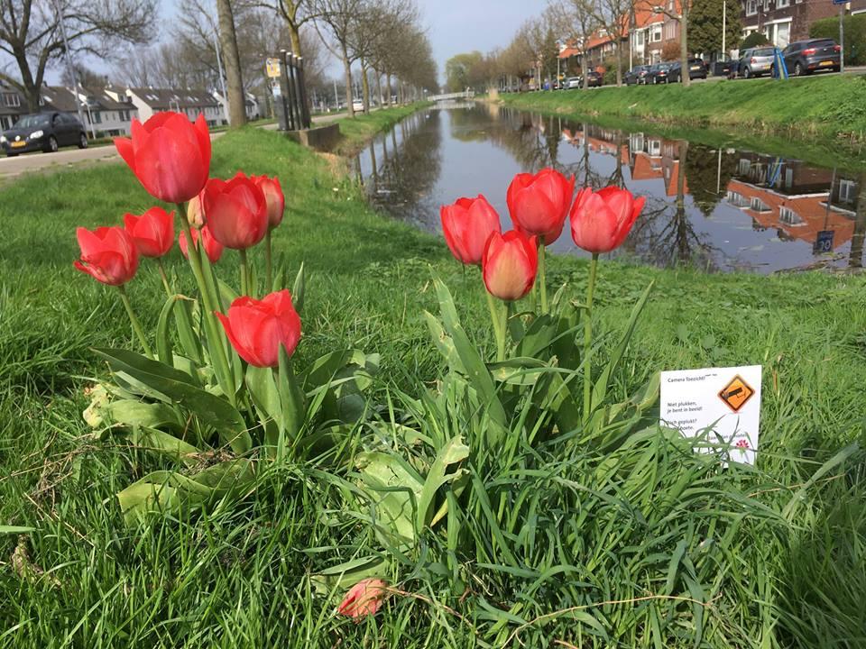 tulpen langs de wandelroute in Rotterdam